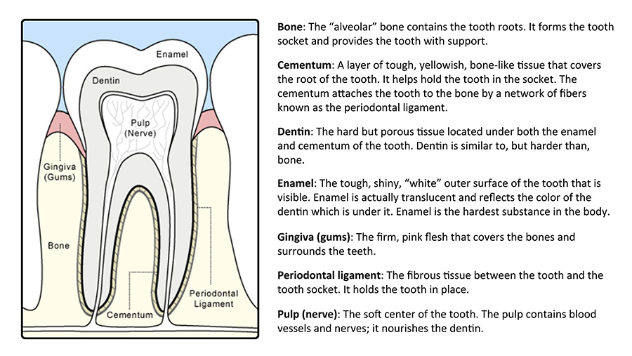 anatomy of a tooth graphic